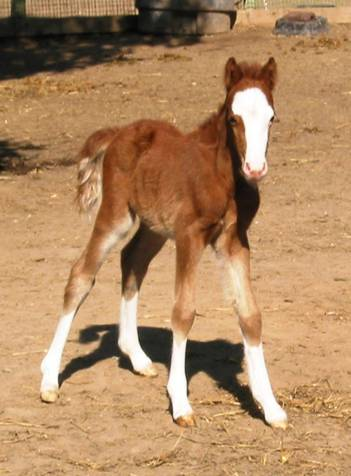 Gallery Piper as a foal